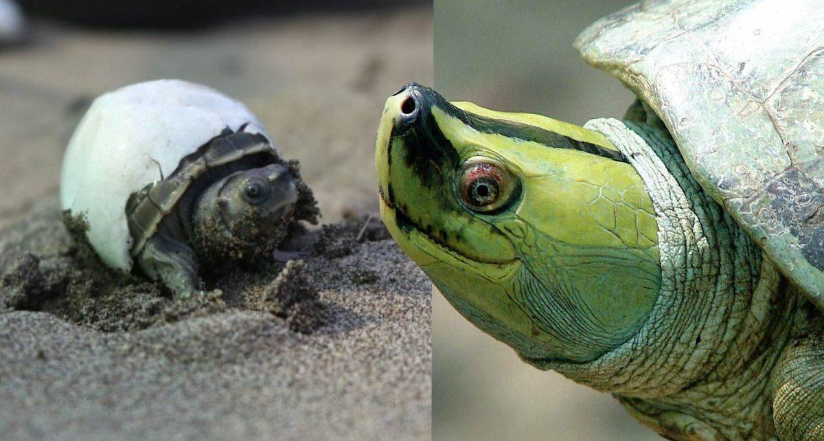 Birmania-Turtle-foto 1